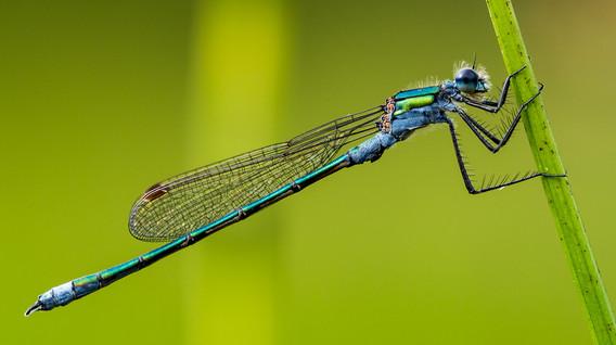Damsel Fly - Iain McLachlan