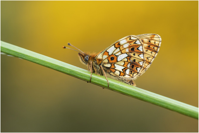 Small Pearl-bordered Fritillary