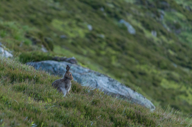 It was around 6am as I approached the top, and there were Mountain Hares everywhere