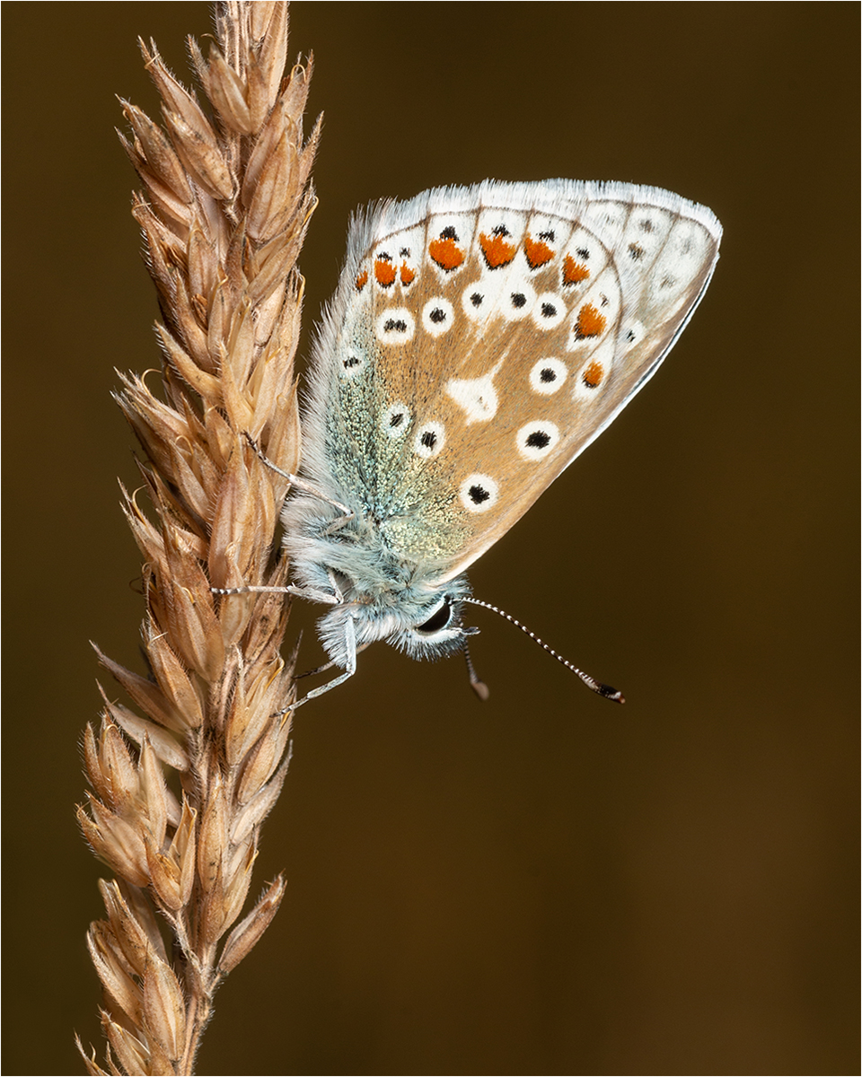 2 Common Blue Butterfly
