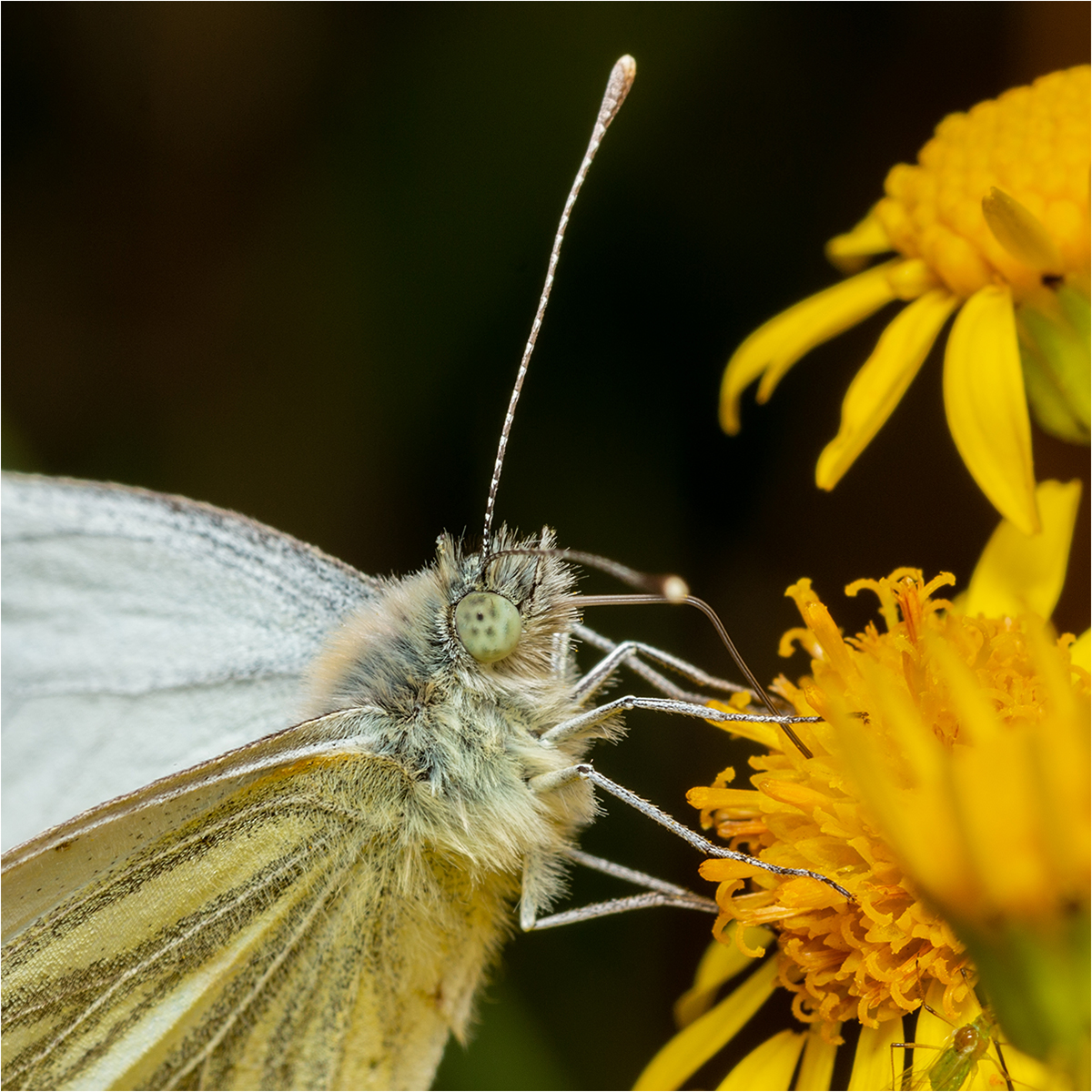 11 Green Veined White Butterfly