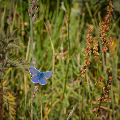 Common Blue Butterfly (m)