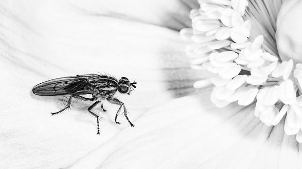 Fly on a Poppy - Iain McLachlan