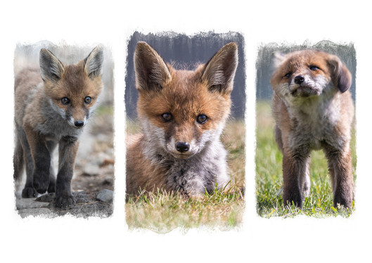 Urban Fox Cub by Lynn Stout
