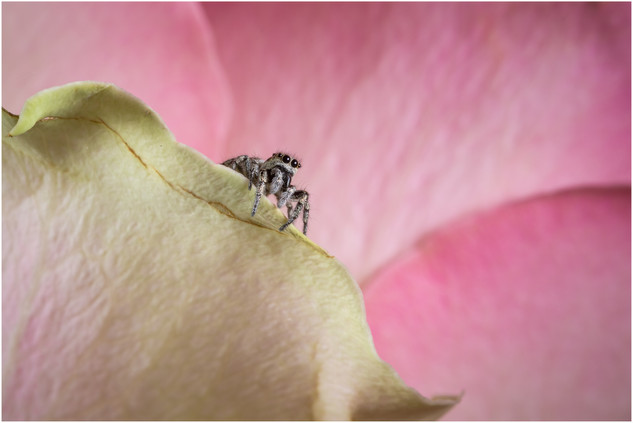 Zebra Jumping Spider (female)