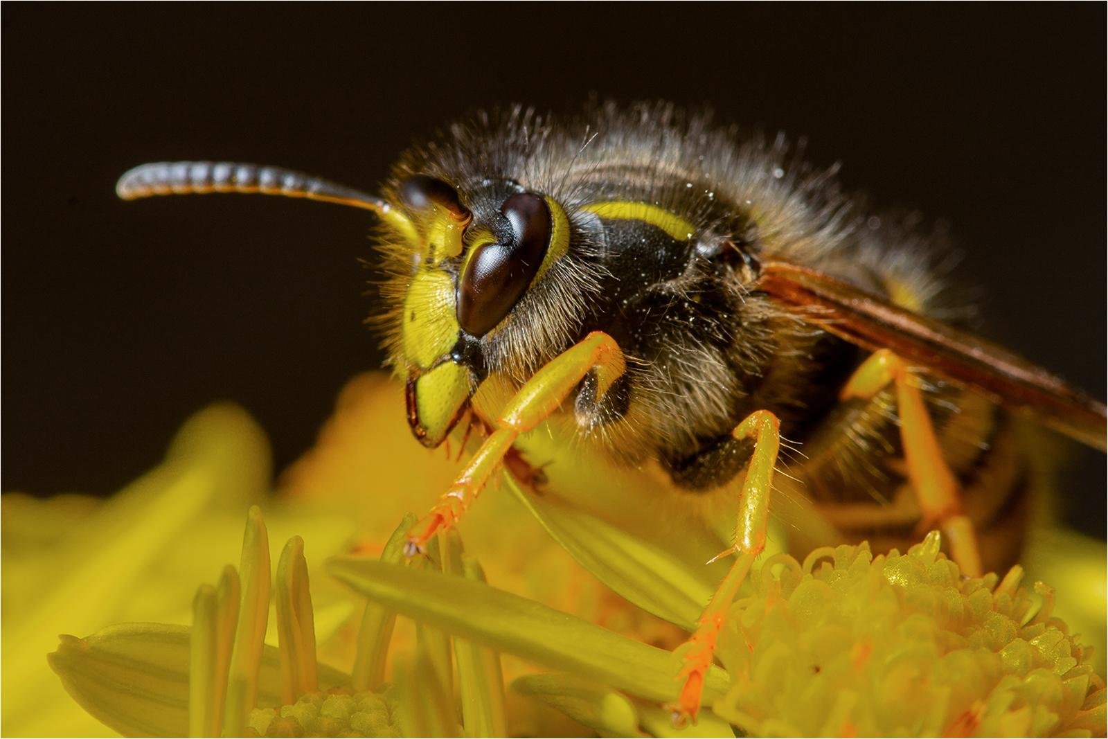 6 Wasp