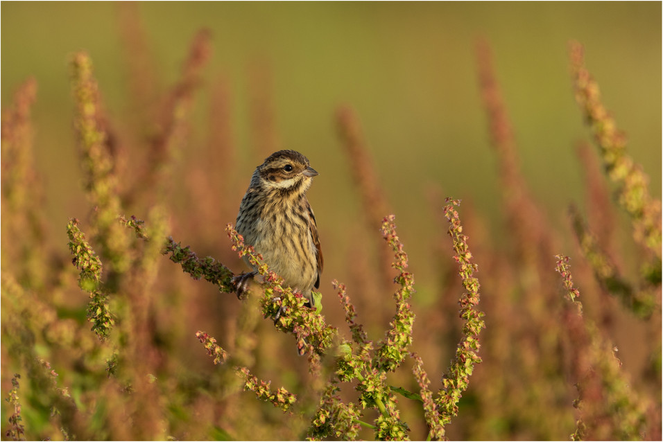 Fledgling Reed Bunting