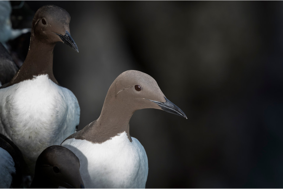 Guillemot in the limelight