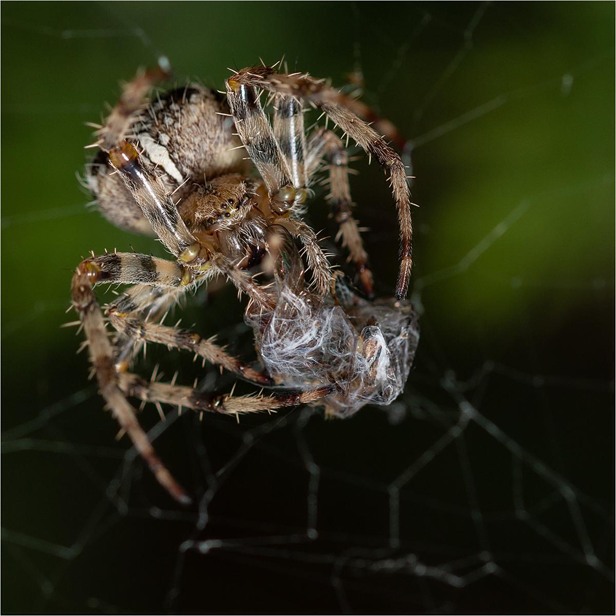 4 Garden Spider
