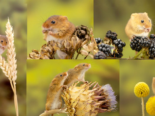Harvest Mice - something different to spend your Christmas money on?