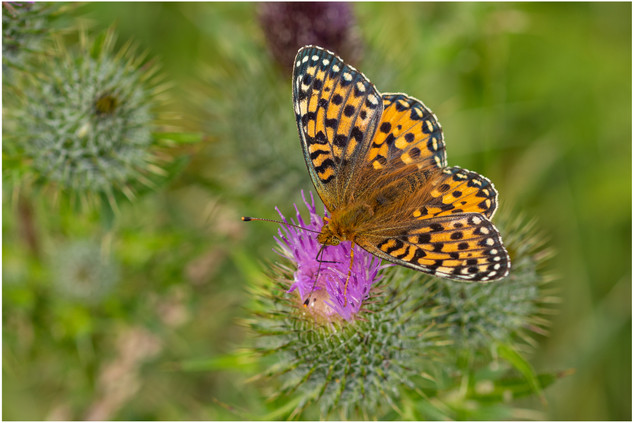 Dark Green Fritillary female