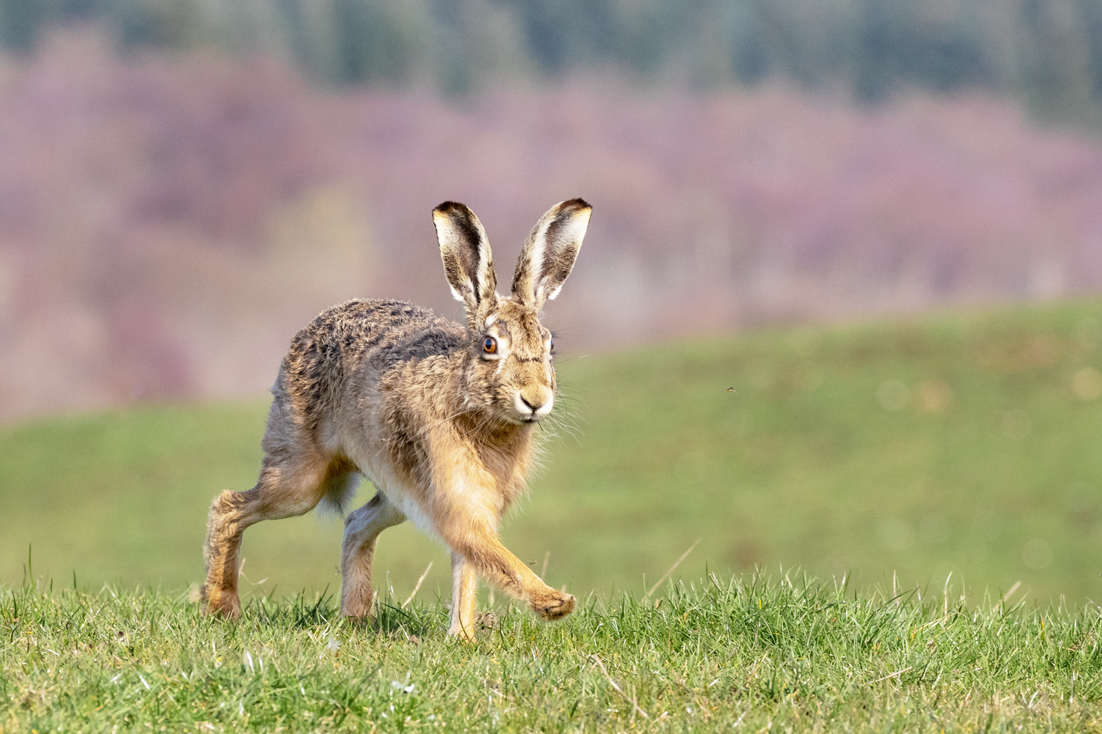 336 Brown hare strut