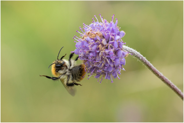 Carder Bee on Devil's Bit Scabious