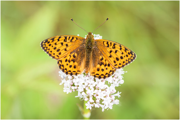 Dark Green Fritillary male