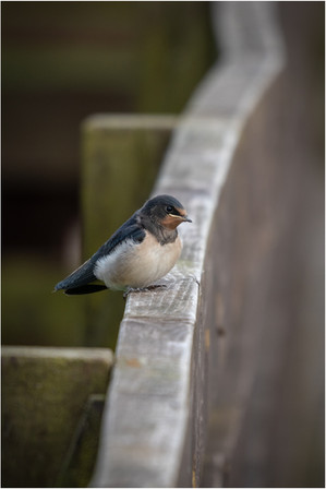 Swallow Fledgling