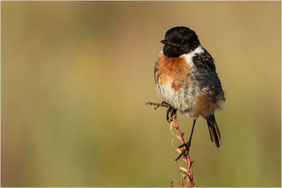 Young male stonechat