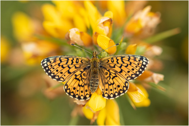 Small Pearl-bordered Fritillary (female)