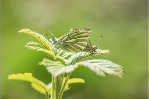 Green-veined Whites mating pair