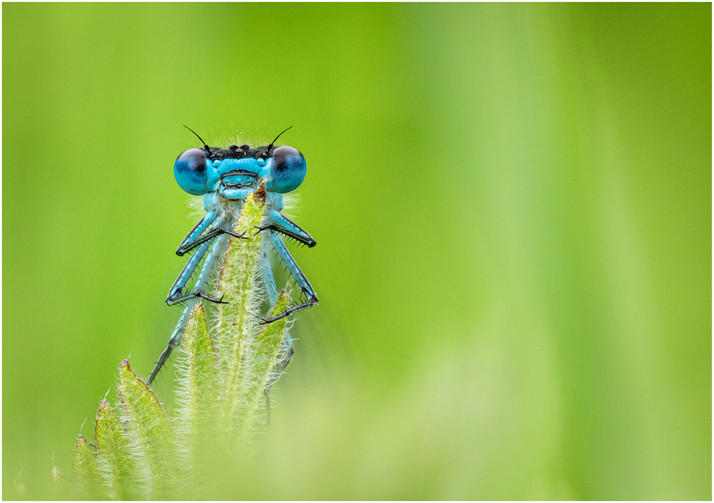 Male Azure Damselfly