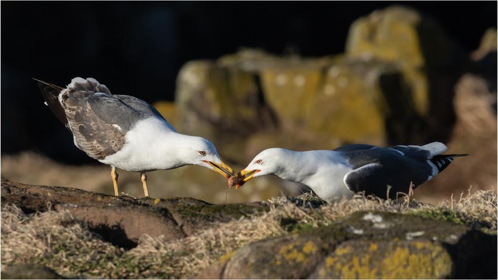 Lesser Black Back Gulls