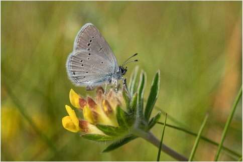 SMall Blue female on Kidney Vetch
