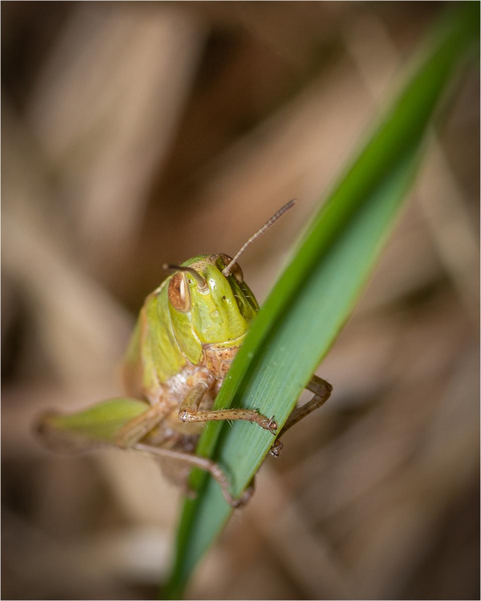10 Grasshopper