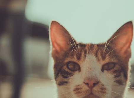 CANNABIDIOL THERAPY FOR FELINES