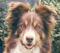 Red Border Collies with Yellow Eyes