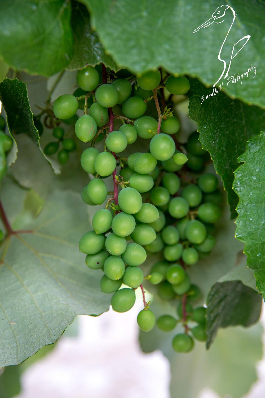 Fiorelli Winery & Vineyard Bradenton grape vines grapes muscadine
