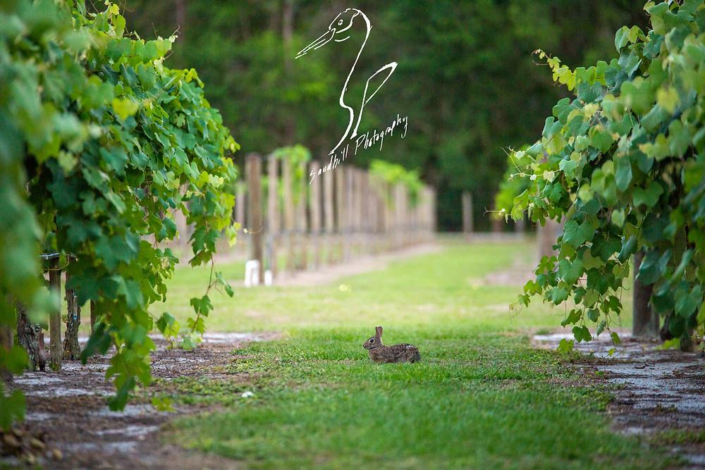 Fiorelli Winery & Vineyard Bradenton grape vines rabbit bunny