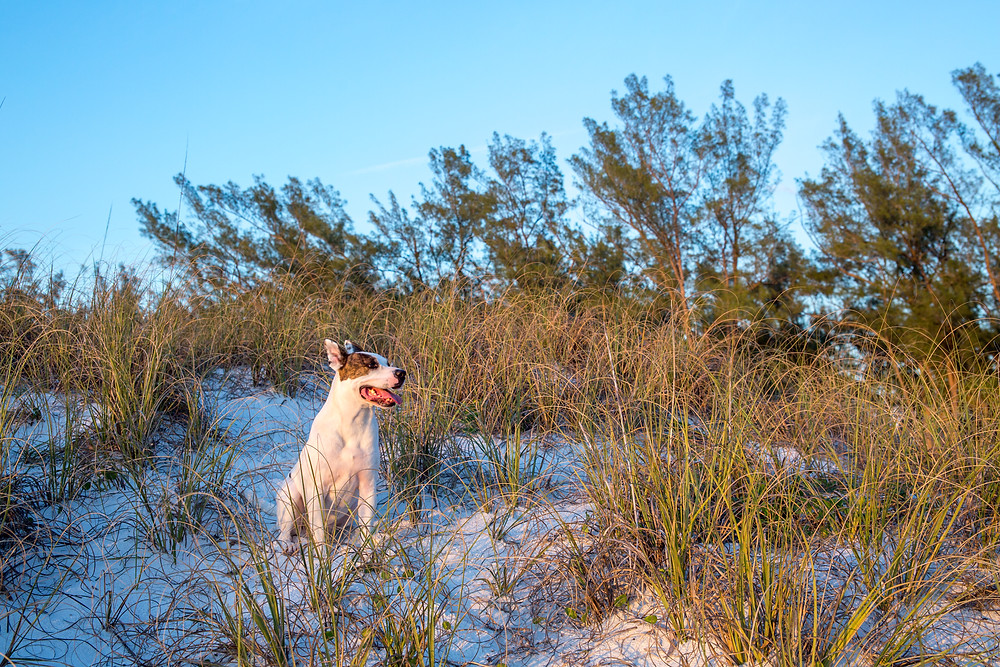 Coquina Beach Photography Romantic Beach Dunes Anna Maria Island Sunset Dog