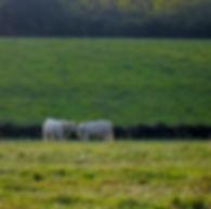 Deux vaches dans un pré se faisant un calin