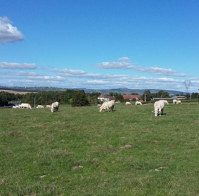 Troupeau de vaches avec la Ferme des Lauchères en arrière plan