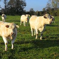 Vaches curieuses regardant au loin