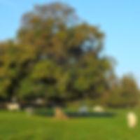 Troupeau de vaches sous un arbre