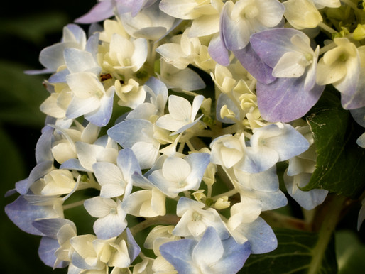 Hydrangeas and Mother's Day