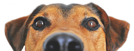 hound peeking.png
