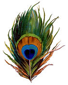 Main feathers peacock.jpg
