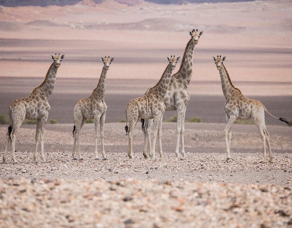 Desert Giraffes
