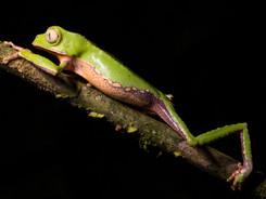 White-lined Leaf Frog,Amazon Rainforest Macro Photography Workshop/Tour