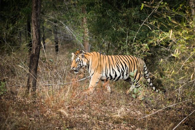 Bengal Tiger - Bandhavgarh National Park, India