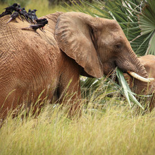 Elephants and Oxpeckers, Queen Elizabeth National Park, Uganda