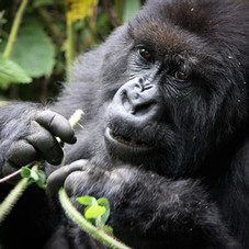 Mountain Gorilla, Buindi National Park, Uganda