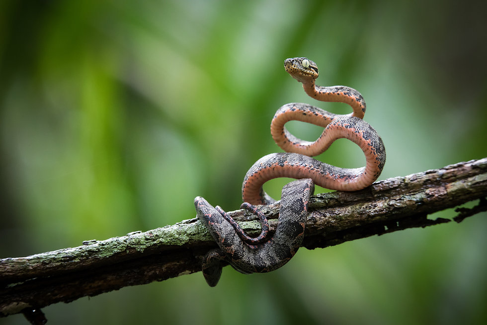 Juvenile Amazon Tree Boa (Corallus hortu
