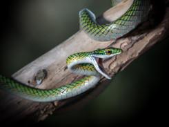 Black Skinned Parrot Snake, Amazon Rainf