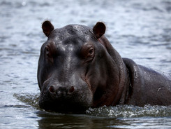 Alert Hippo, African Wildlife Photography Workshop/Safari, Chobe, Botswana