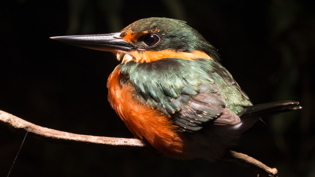 American Pygmy Kingfisher ( Chloroceryle