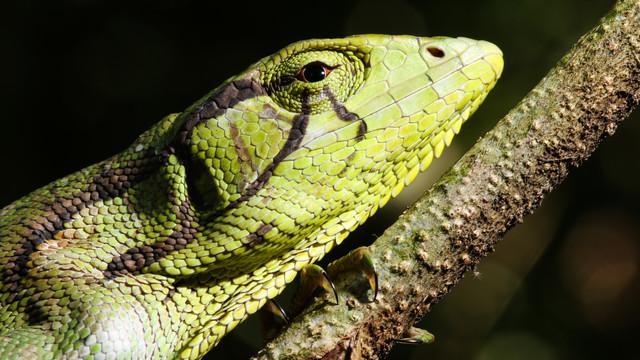 Monkey Lizard (Polychrus marmoratus)