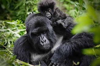 Mountain Gorilla, Mother and Baby