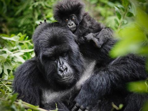 Mountain Gorillas, Uganda Wildlife Photography Workshop/Safari